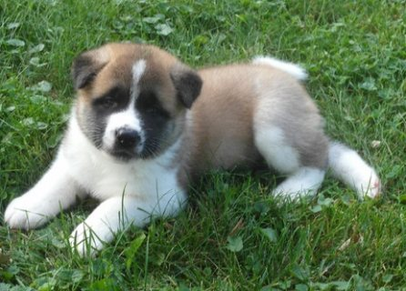 Sensitive Male and Females Akita Puppies Ready for Adoption -