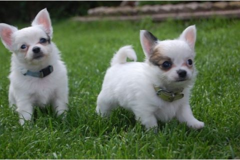 Adorable Chihuahua Puppies Ready Now