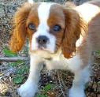 Cavalier King Charles Spaniel Puppies...//././.