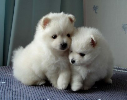 male and female Pomeranian puppies for sale