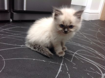 Very Adorable Ragdoll Kittens