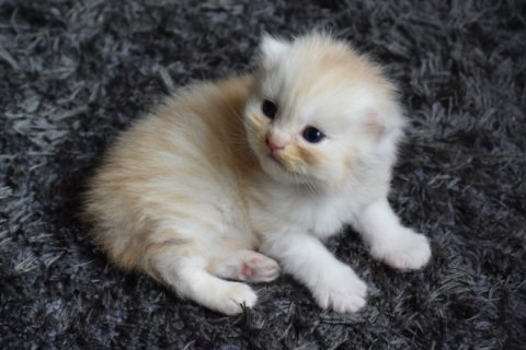 Persian kitten availabl