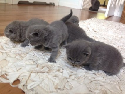 british shorthair kittens looking for a good and forever home