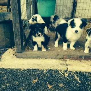 Well Trained Border Collie Puppies