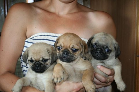 Grey Pug Puppies Available For Good Home01
