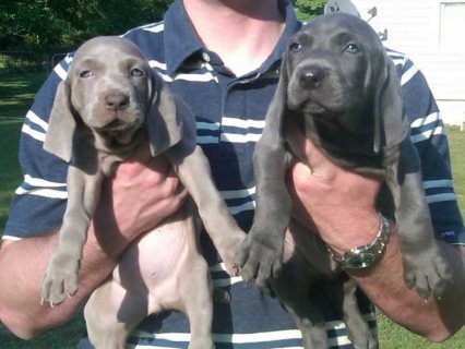 2 Weimaraner Ready For New Homes