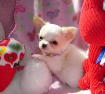 صور T'cup chihuahua puppies available for your home 1