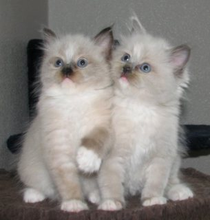 Ragdoll Kittens For New Home09
