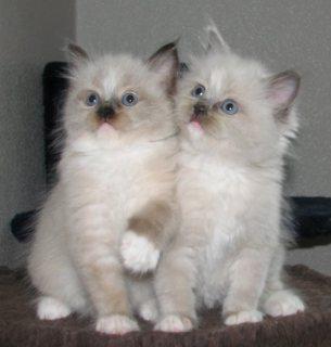 Ragdoll Kittens For New Home09