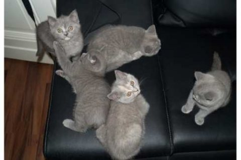 Sweet male and female British shorthair available for adoption.