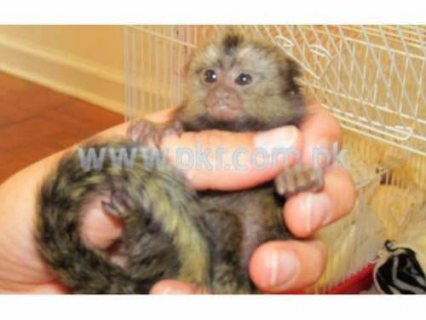 Wow lovely pygmy Marmoset Monkeys For Adoption