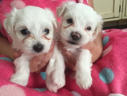 Bueatiful Purebred Maltese Puppies available and ready to go