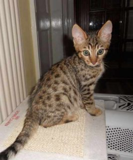 bengal kittens need new homes anywhere-can ship