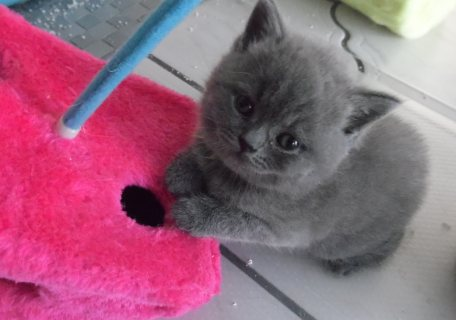 Healthy male and female British shorthair  kittens Seeking new h