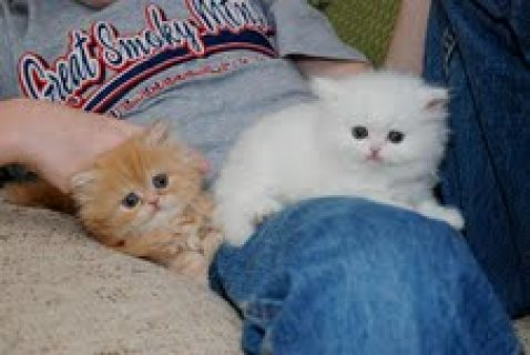 Persian Kittens Available for sale.