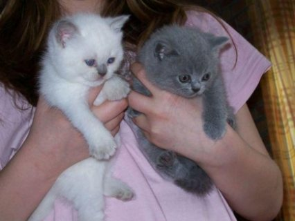 Magnificent male and female British Shot Hair Kittens for sale.
