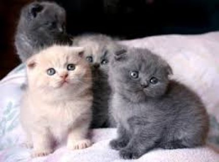 Male and female scottish fold kittens for sale .