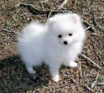 Adorable Pedigree Pomeranian Puppies