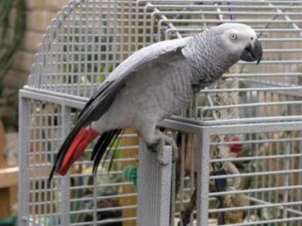 I have a male and female african grey parrots for adoption .