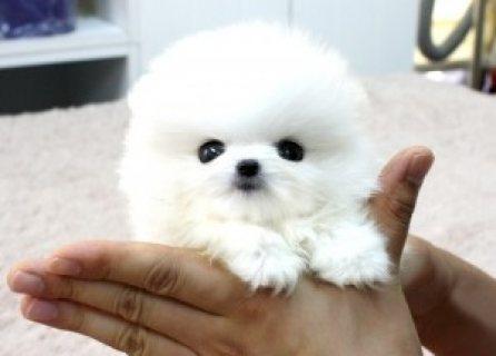 Super adorable Siberian Husky puppies