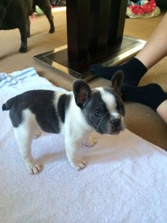 FRENCH BULLDOG PUPPIES GOOD FOR ADOPTION