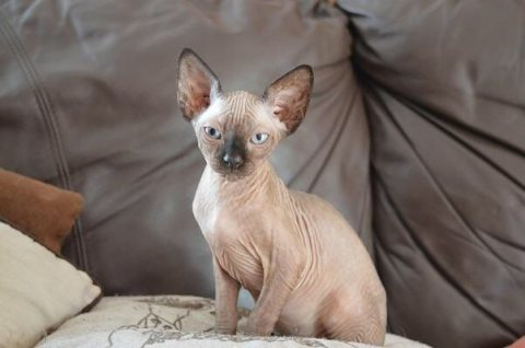 Adorable Hairless Sphynx available for Adoption