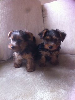 صور Purebred Tiny Yorkie Puppies 1