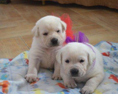 Absolutely darling Golden Retriever Puppies