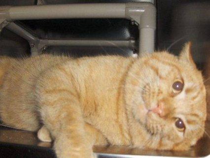 Domestic Short Hair  Orange  Kumba  Small kittens