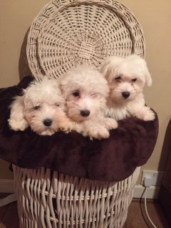 Perfect Maltese puppy for free adoption