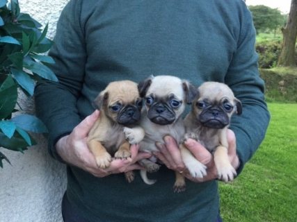 pug puppies available and ready