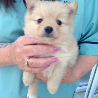Absolutely stunning Pomeranian pup, re advertised!!!!!!