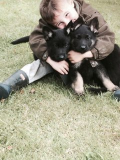 Quality German Shepherd puppies for Adoption