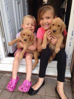 Sweet Labrador Puppies for adoption