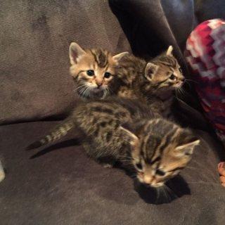 Beautiful playful Bengal kittens