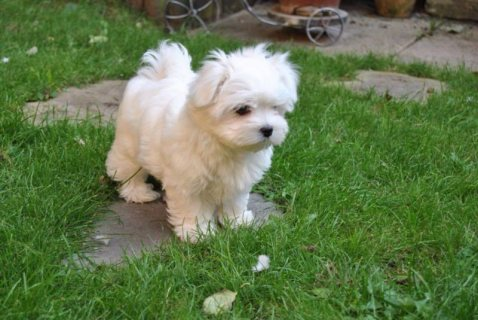Playful Teacup Maltese Puppies for adoption