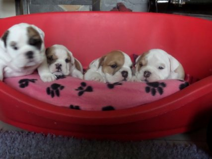Cute AKC English Bulldog Puppies for Adoption