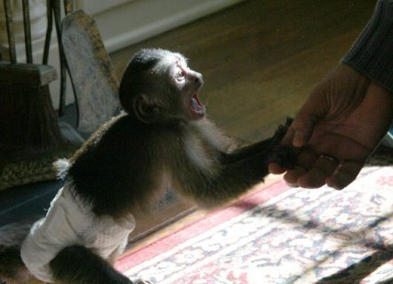 2 baby Capuchin Monkeys For Adoption