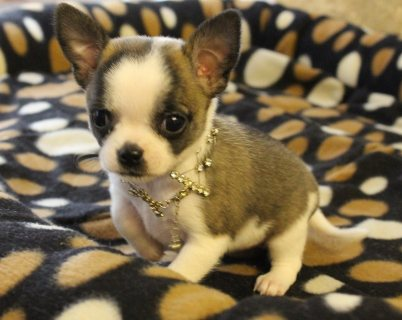 Beutifull Chihuahua Puppies for Adoption