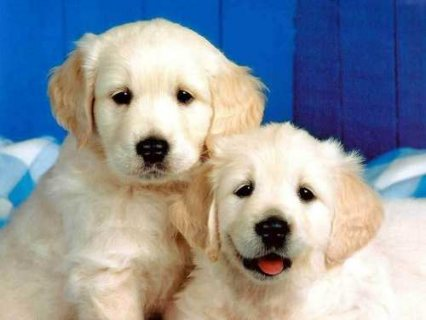 Adorable Golden Retriever Puppies for adoption