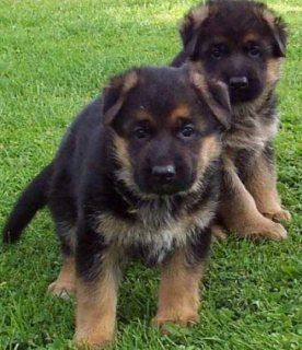 Healthy German Shepherd Puppies