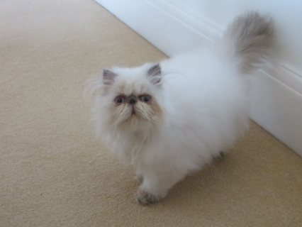 Himalayan Kittens Available For adoption