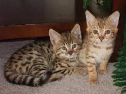 Well Socialized Savannah Kittens Available for sale