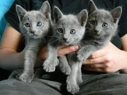 Quality male and females Russian Blue kittens for sale.