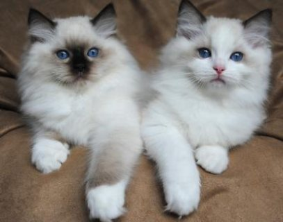 Adorable RAGDOLL KITTENS FOR SALE
