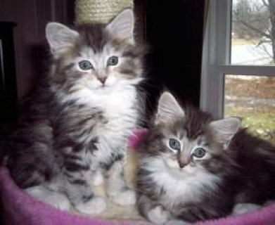male and female Maine Coon Kittens for sale .