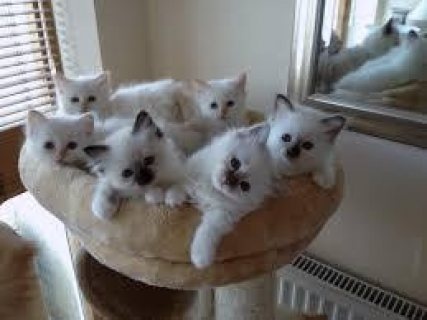 Cute male and female Birman kittens for sale .