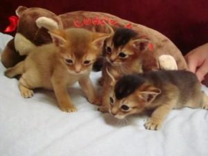 Beautiful males and females Pure-breed Abyssinian Kittens for sa