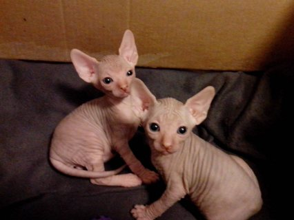 They are male and female. They are great pets and home raised ,