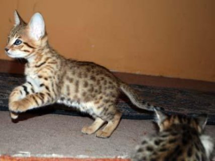 Last Two F5 Savannah Kittens Ready To Go Immediately